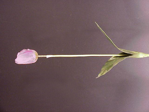 TULIPANO REAL TOUCH H.79CM LILA